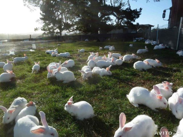 Выращивание и кормление кроликов