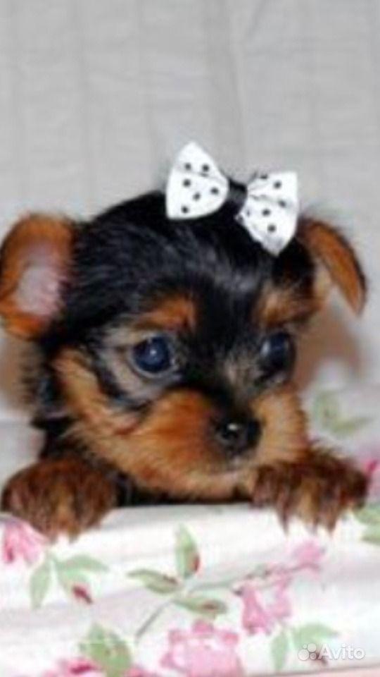 Маленькие собачки в Краснодаре - фотография № 2