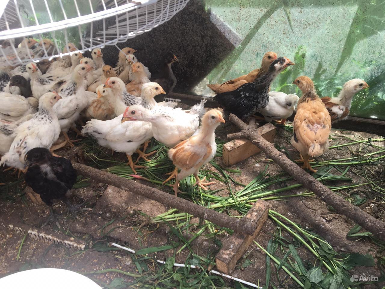 Цыплята подрощенные серебристая адлерская,доминант в Ильском - фотография № 3