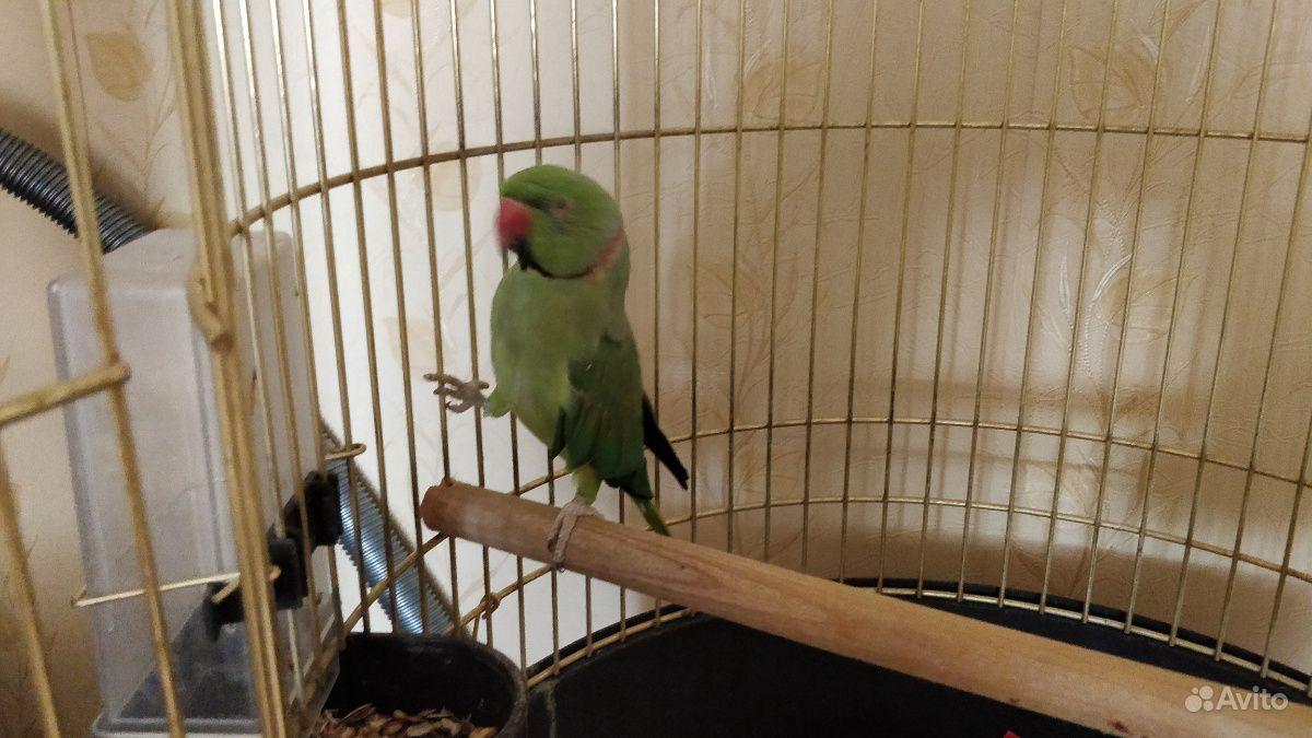 Ожереловый попугай Кеша