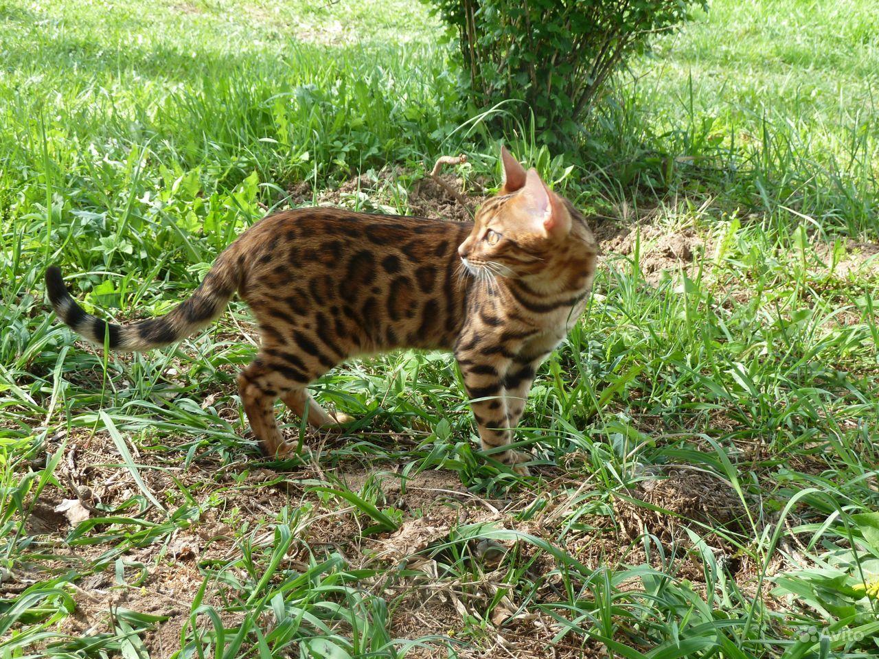 Бенгальские котята - фотография № 9
