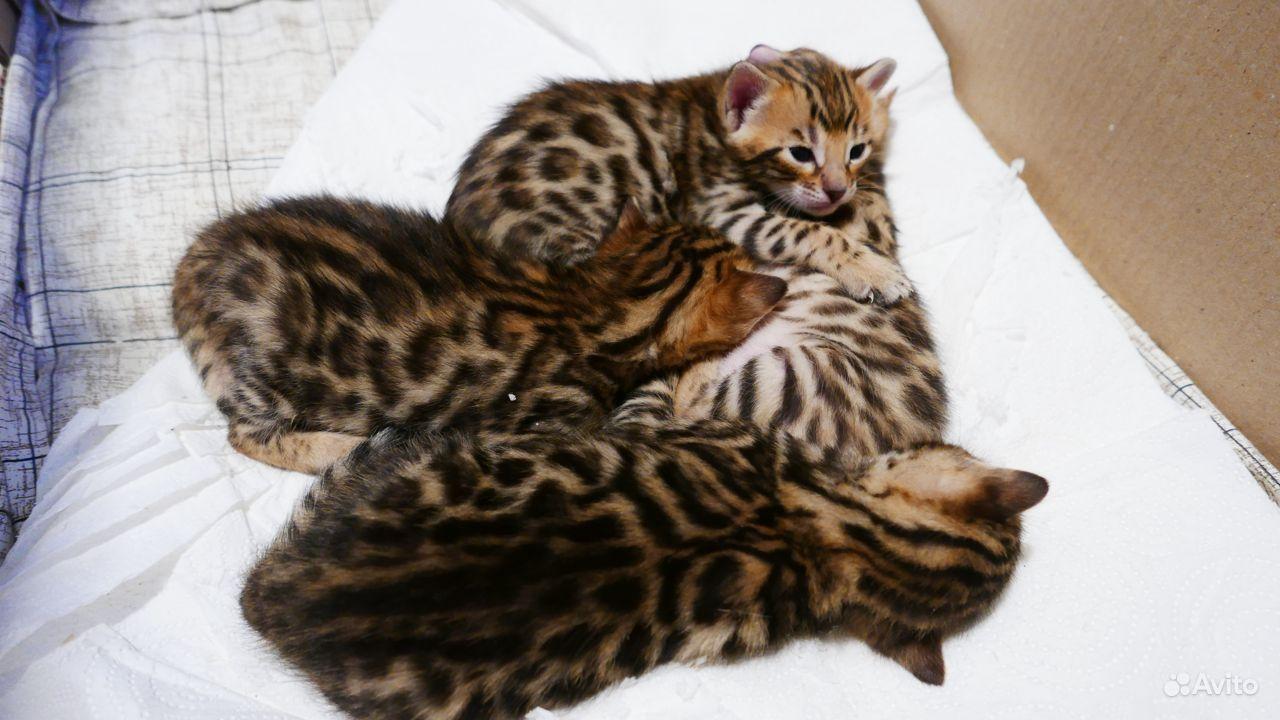 Бенгальские котята - фотография № 1
