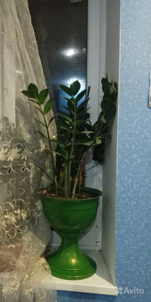 Замиокулькас (долларовое дерево) купить на Зозу.ру - фотография № 1