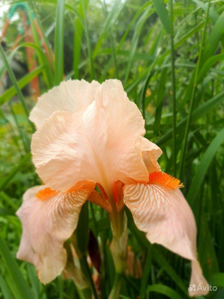 Цветы садовые купить на Зозу.ру - фотография № 3