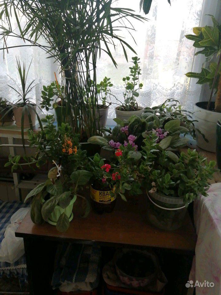 Цветы комнатные купить на Зозу.ру - фотография № 6