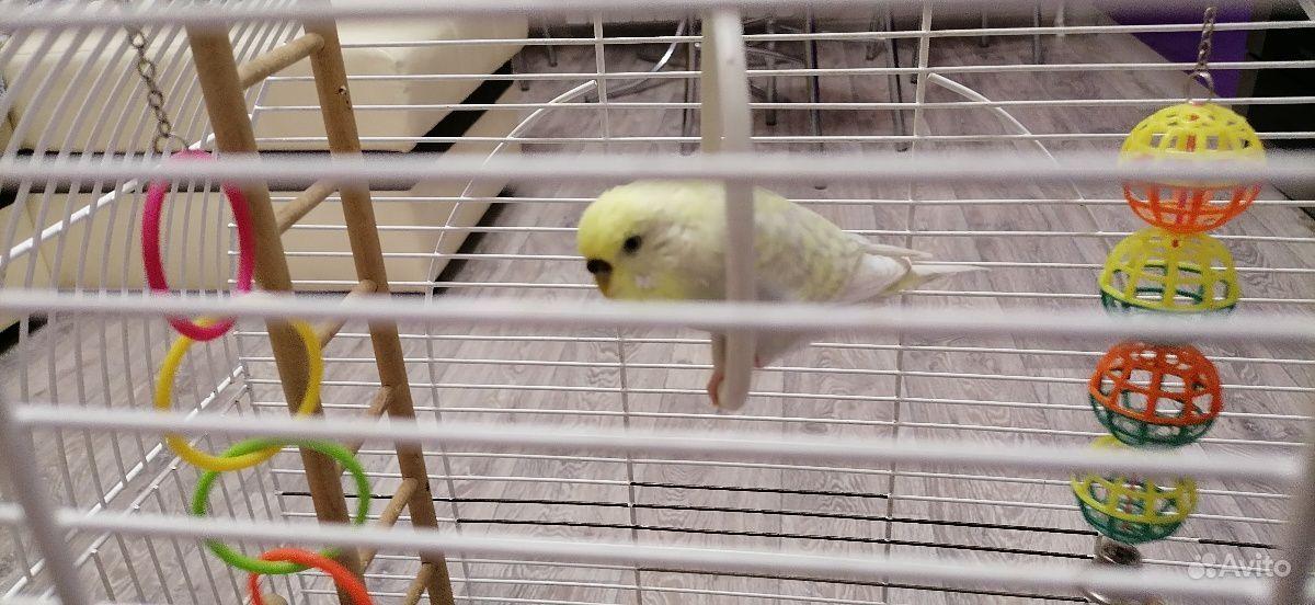 Волнистый Попугай купить на Зозу.ру - фотография № 1