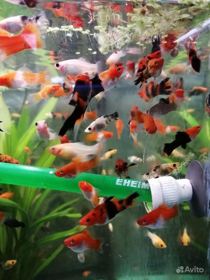 Меченосцы и молинезии аквариумные рыбки купить на Зозу.ру - фотография № 9