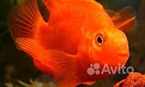 Рыба попугай красный купить на Зозу.ру - фотография № 1