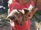 Котят британцев отдам в добрые руки.милые чудные о