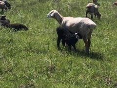 Овцы ягнята бараны 640 голов
