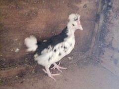 Породистые цыплята