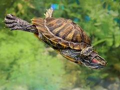 Красноухая черепаха в дар