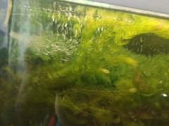 Продам растение в аквариум