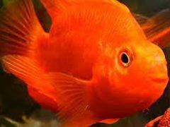 Рыба попугай красный