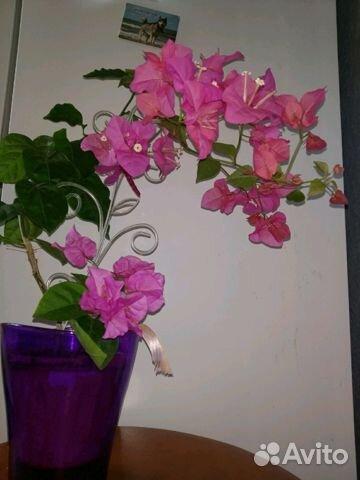 Красиво цветущий цветок бугенвиллия