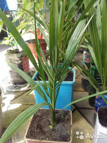 Финиковые пальмы саженцы