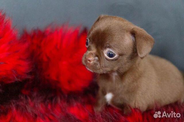 Гладкошёрстные щенки чихуахуа купить на Зозу.ру - фотография № 4