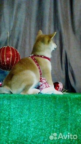 Сиба ину - лучшие щеночки купить на Зозу.ру - фотография № 5