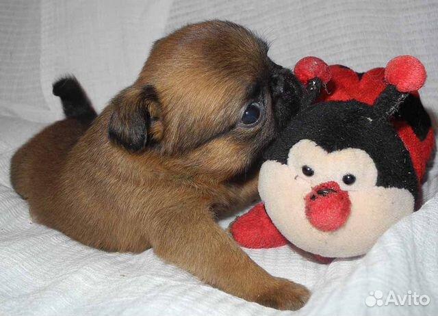 Чудесные щенки пти-брабансон ждут Вас купить на Зозу.ру - фотография № 8