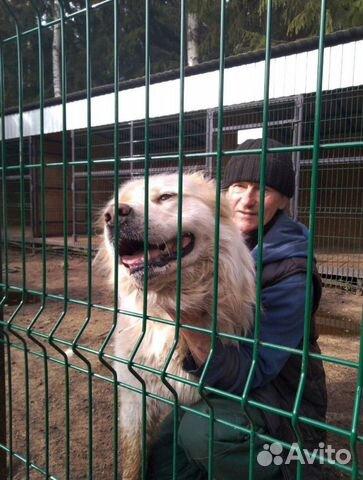 Горшая пиренейская собака в добрые руки, близкий м купить 2