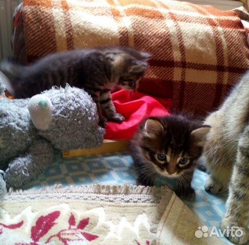 Милейшие котята  купить 2