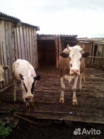 Коровы  89144507496 купить 2