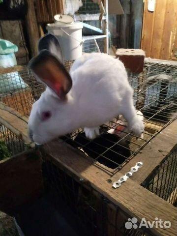 Кролик  89376707200 купить 2