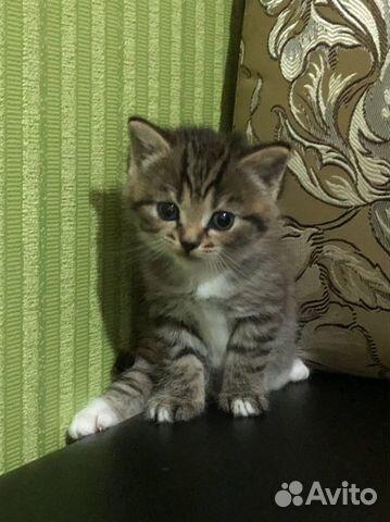 Котята шотландские  89191994610 купить 2
