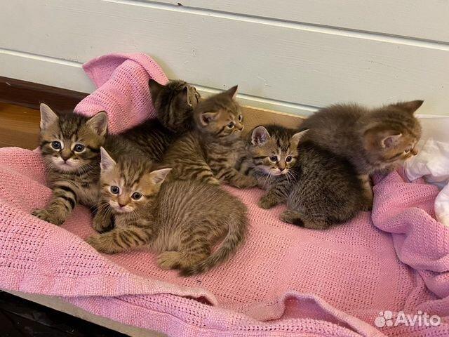 Кошка  89217221222 купить 2