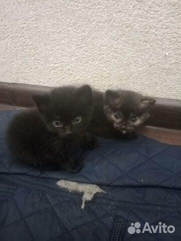 Кошка  89517642190 купить 1