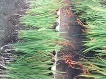 Цветы Монтбреция (японский гладиолус)