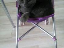 Кошечка британской породы. Девочка 2 года