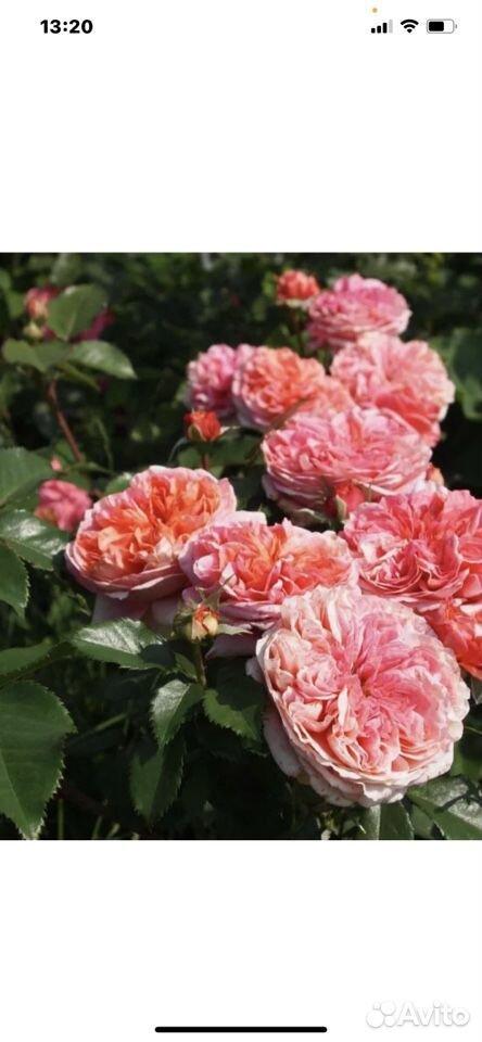 Роза  89023130587 купить 1