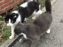 Котята вислоухие британцы