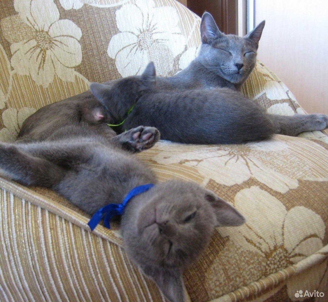Russian blue-kattungar