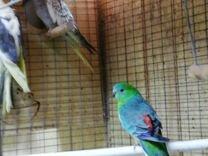 Попугай, попугаи, какарики, певчие, кареллы