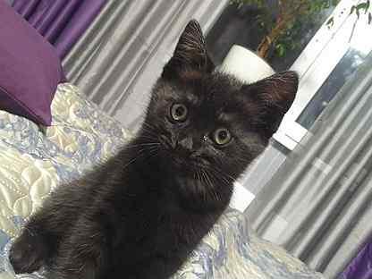 Котёнок от британки