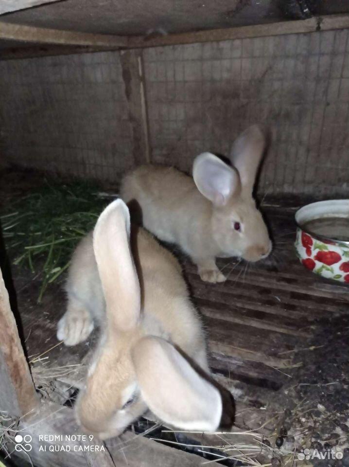 Кролик  89137405868 купить 1
