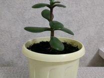 Толстянка, денежное дерево, комнатное растение