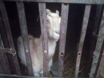 Продаются коза доиная