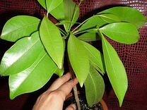 Редкое экзотическое растение Саподилла
