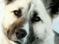 Собаку на охрану в дар